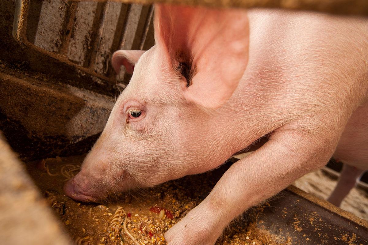 Schwein - Urlaub am Marchlhof, Untertauern