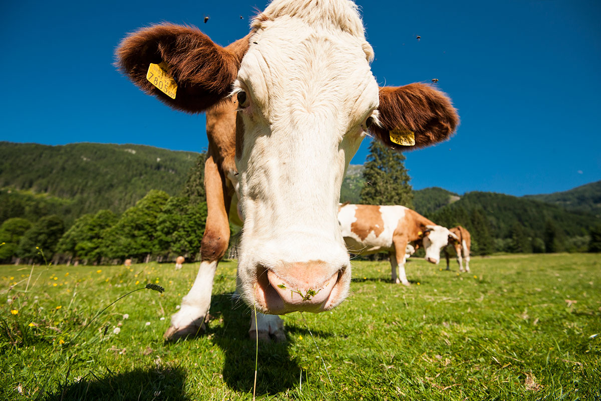 Kühe - Urlaub am Marchlhof, Untertauern