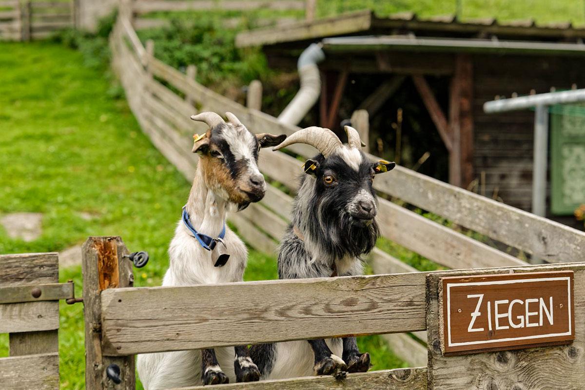 Ziegen - Urlaub am Marchlhof, Untertauern